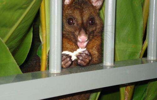 ross the roofer providing safe possum removal